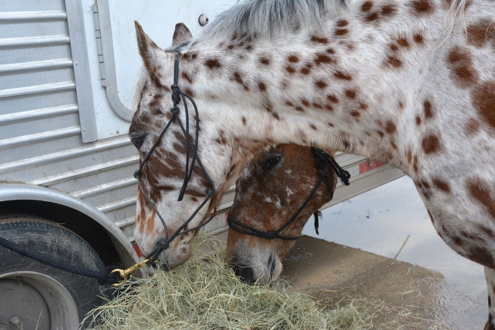 Warrior and Moose, both leopard Appaloosas, take a break to fill up before a the final day of riding on the Salt Grass Trail.