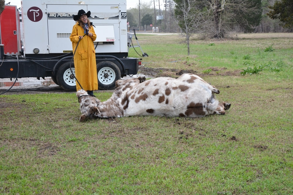 """""""Muley"""" rolls in the dirt after a long ride."""